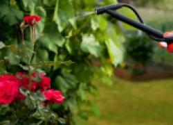 Как подкормить навозом розы и другие цветы