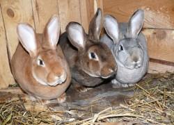 Кролики породы рекс – самые выгодные