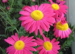 Розовый пиретрум очарует красотой и избавит от вредителей