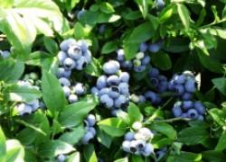 Голубика – «ягодная аптека» в нашем саду