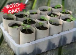 Выращиваю рассаду в рулонах из-под туалетной бумаги