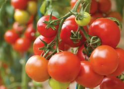 6 самых серьезных помидорных болезней