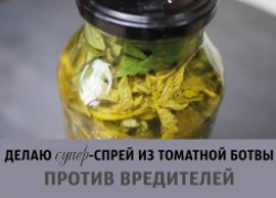 Делаю супер-спрей из томатной ботвы против вредителей