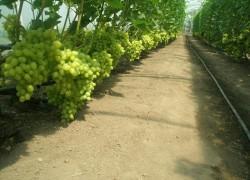 Лучшие сорта винограда для теплицы
