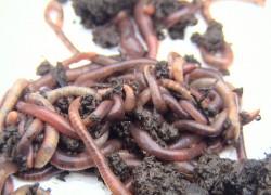 Выращиваю червей для поправки бюджета