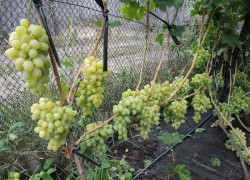 Доступно об удобрении винограда