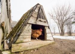 Рассказ о том, как курица стала старшей любимой женой петуха