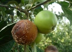 Эффективные меры по борьбе с плодовой гнилью