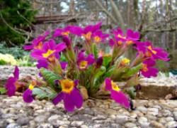 Мой любимый весенний первоцвет - примула