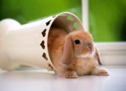 Правильный рацион для декоративного кролика