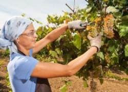 Какую нагрузку сможет вытянуть виноград