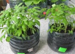Кто попробует этот способ выращивания рассады – другого уже никогда применять не будет