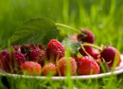 Новые сорта – путь к успеху малина летняя