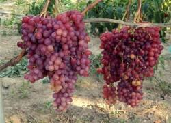 Что такое полярность винограда