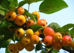 Китайка, или райские яблочки