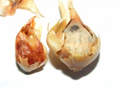 Как защитить лук от сажистого грибка