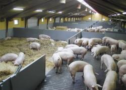 Строительство свиноферм на Крайнем Севере будет субсидировано