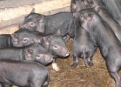 Сергей БРОННИКОВ: «Занимаюсь выращиванием вьетнамских вислобрюхих свиней и нисколько об этом не жалею»