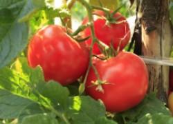 Какие помидоры выбрать для высадки в грунт
