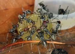 Осыпались ягоды винограда – виноваты муравьи?