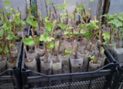 Когда надо начинать выращивание вегетирующих саженцев