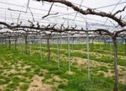 Укрывной виноград на горизонтальной шпалере
