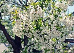 Растения-опылители для плодовых культур
