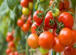 Реально ли собрать 70 кг помидоров с куста?
