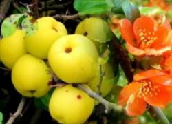 Айва японская – отличный подвой для груши