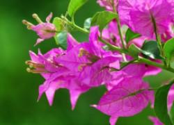 Бугенвиллея — бумажный цветок, привлекающий деньги