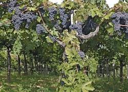 Можно ли оставлять урожай на впервые вступивших в плодоношение кустах