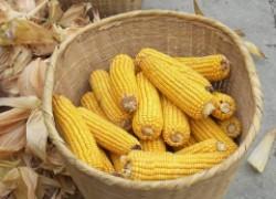 У меня всегда отличный урожай кукурузы