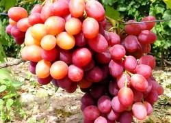 Самые крупноплодные сорта
