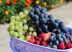 Стоит ли искать морозостойкий сорт винограда