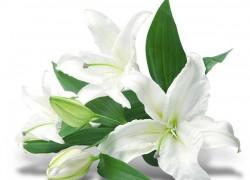 Весна: пора удобрять лилии