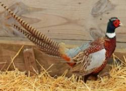 Кормление фазанов по всем правилам