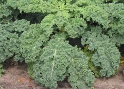Кормовая капуста. Что это и с чем ее едят?