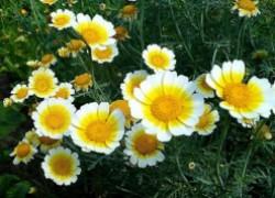 Овощная хризантема на грядке