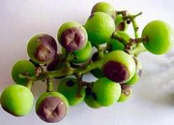 Милдью губит ягоды