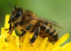 Про пчел и опыление