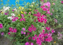 Флоксы, цветущие с апреля по октябрь