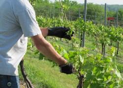 Формировки для легкого ухода и большого урожая винограда