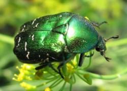 Майский жук –способы борьбы
