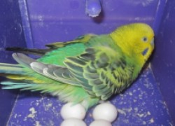 Как помочь птичке снести яйцо
