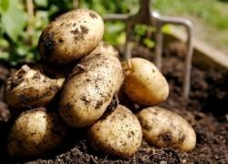 Картофель взошел что дальше?