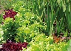 Соседство культур на огороде