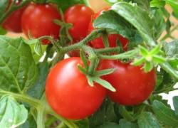 Лечим помидоры