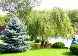Сосна и березка в плодовом саду