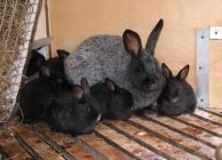 Как не разочароваться в кролиководстве