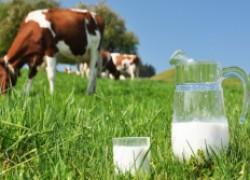 Молоко коровье: пить или не пить